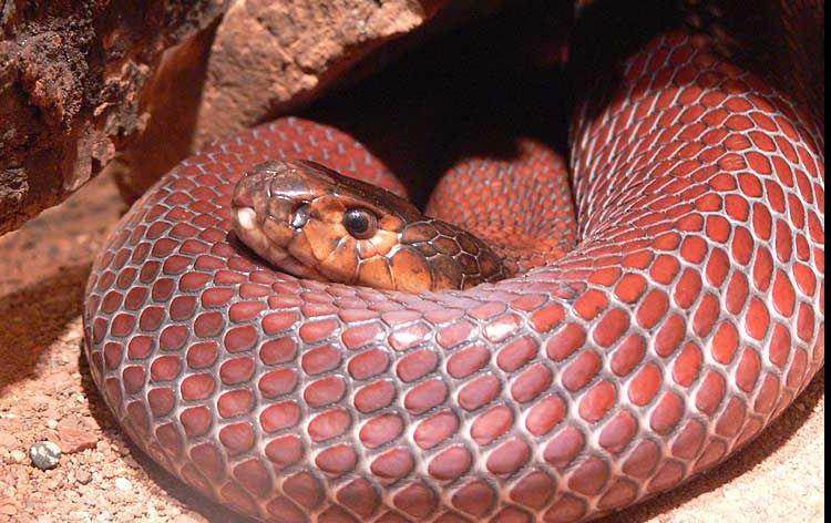 Cobra cracheur rouge